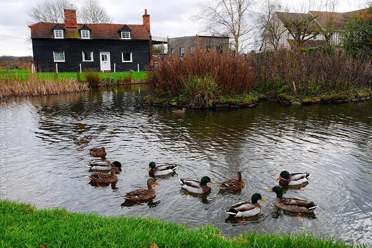 Ducks At Blackmore