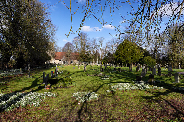 Snowdrops In Takeley Churchyard