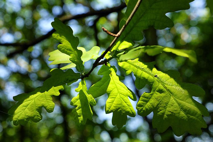 Oak Leaves Nearby