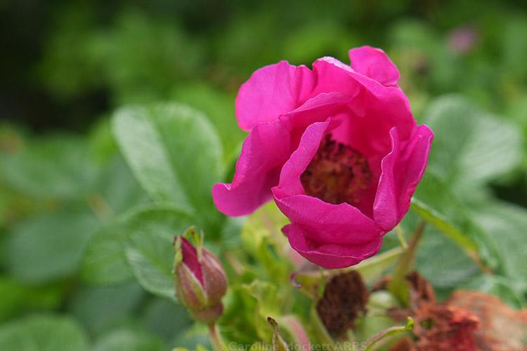 Wild Roses Near GZ