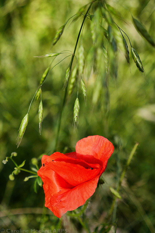 Poppy Along The Way