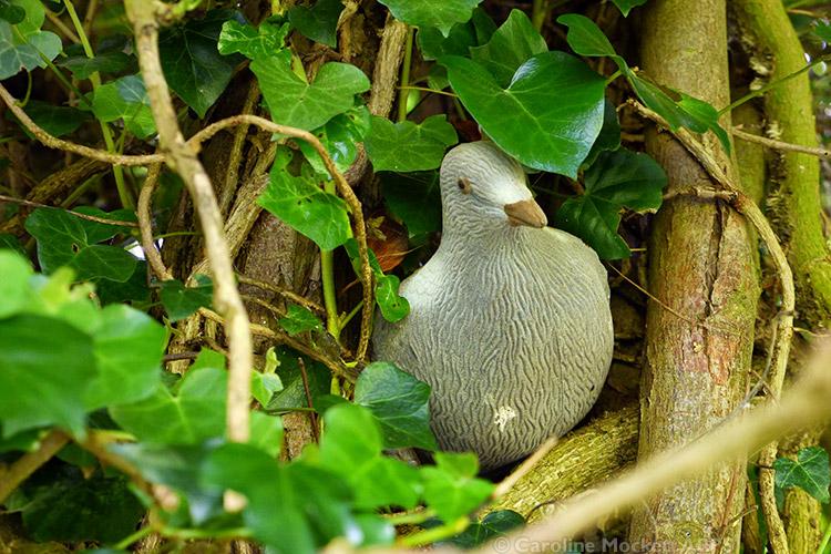 Peeping Pigeon